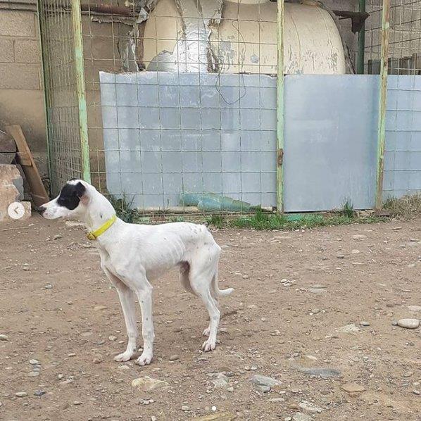Perro mestizo blanco y negro recogido en Tarazona