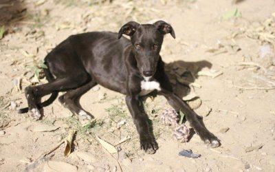 Galgo cachorro recogido en Tarazona (Zaragoza)